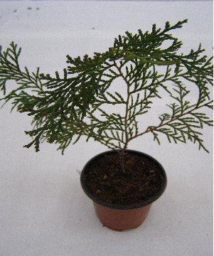 3fish 축령산 편백나무 묘목 : 3) 3년생 편백나무 묘목 (25 ~ 30 Cm)