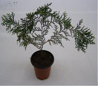 3fish 축령산 편백나무 묘목(3년생)