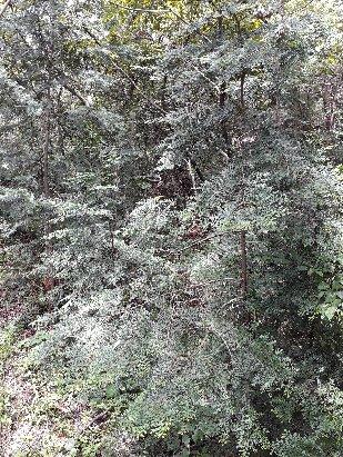 3fish 축령산 편백나무 묘목