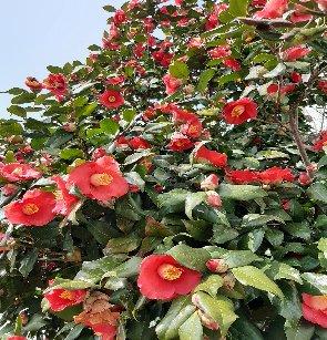 3fish 나무 묘목 : 8) 동백나무(홑동백/분홍동백)