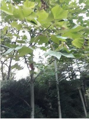 24) 3fish 벽오동나무 묘목