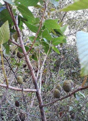 3fish 나무 묘목 : 33) 사방오리나무