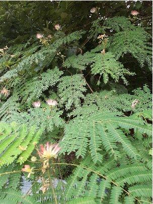 3fish 나무 묘목 : 44) 자귀나무