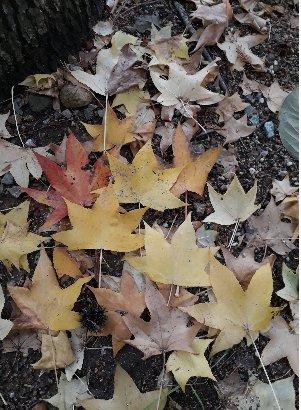3fish 나무 묘목 : 48) 풍나무(미국풍나무/미국단풍나무)