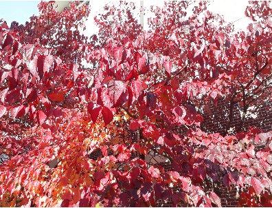 3fish 나무 묘목 : 49) 미국산딸나무