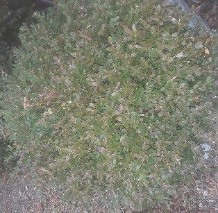 3fish 나무 묘목 : 54) 회양목