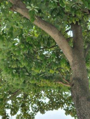 3fish 나무 묘목 : 62) 후박나무