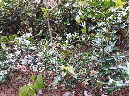 3fish  호랑가시나무