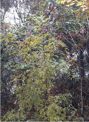 3fish   산초나무