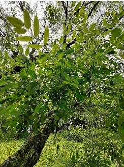 3fish 회화나무